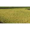 Rice 006 (stock movie HD material)